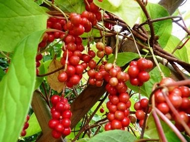 A schizandra plant with medicinal berries growing in the wild to be used to help treat adrenal fatigue.