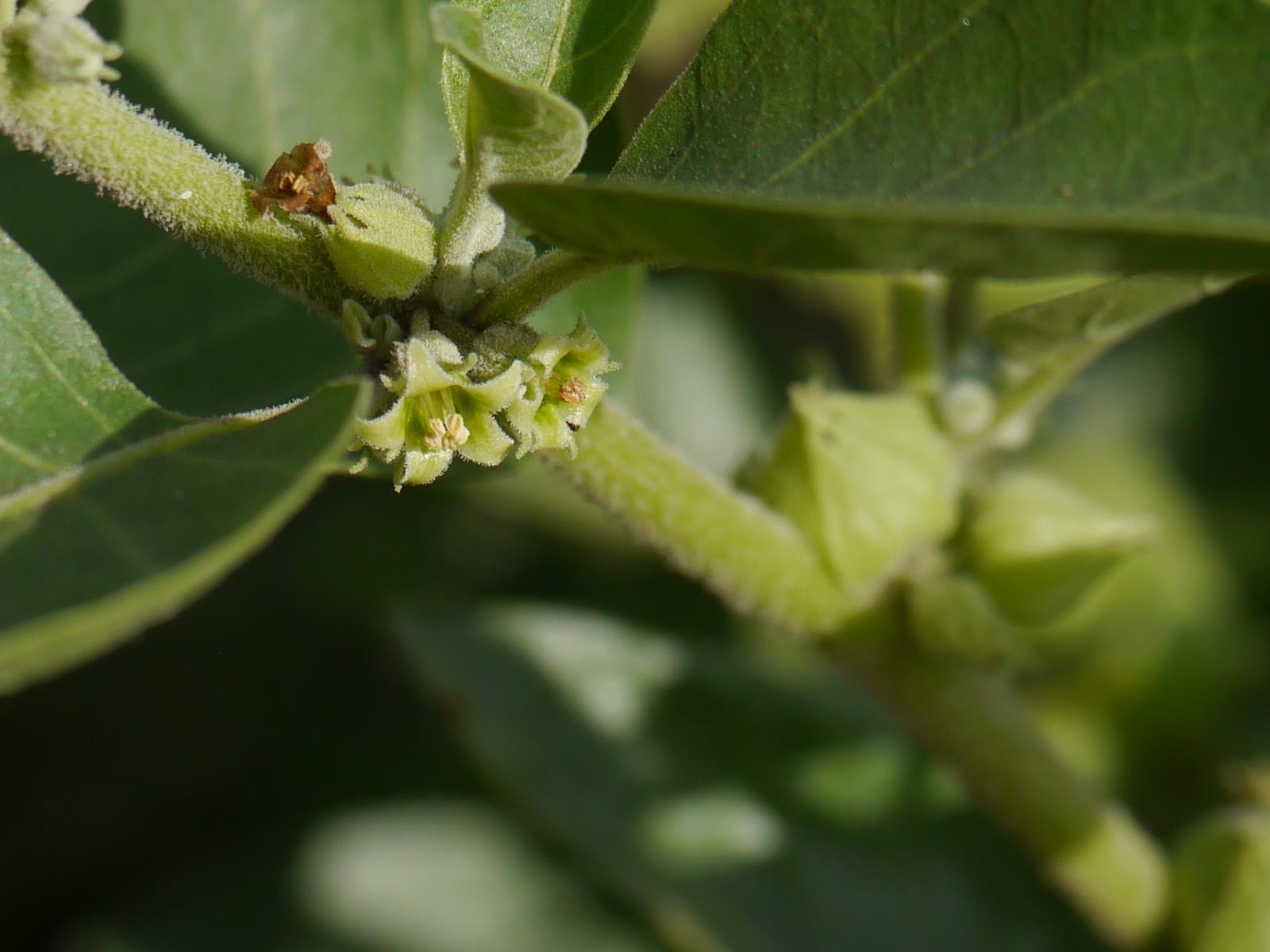 The ashwaganda plant in the wild which is used as an adrenal fatigue supplement.