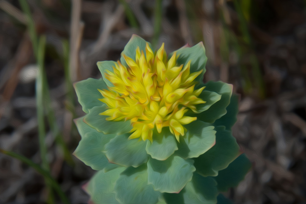 Rhodiola plant in bloom growing outside which is another adaptogen that helps with adrenal fatigue.